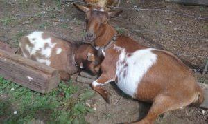 goat yoga grand ma