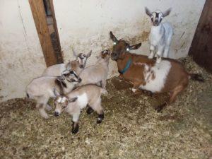 puget sound goat yoga